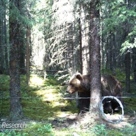 A grizzly bear inside a hair snag lure site [Photo: fRI Research]