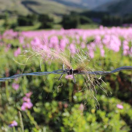 A tuft of grizzly bear hair caught at in a line of barbed wire, with pink flowers in the background