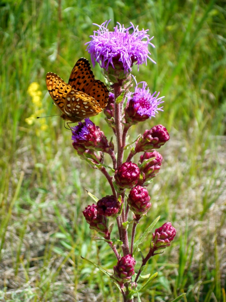 A Northern blazing star in bloom in the Bruderheim area, with a butterfly alighted on one bloom